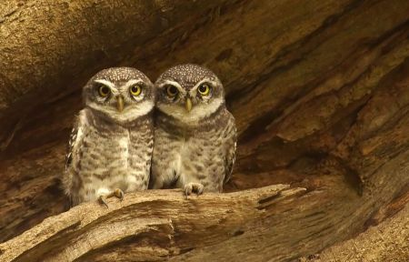Spotted Owlets on a broken branch of the Spathodea tree.