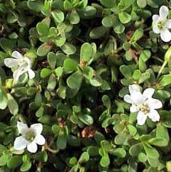 Bacopa monerri or Water hysop, Bengalooru