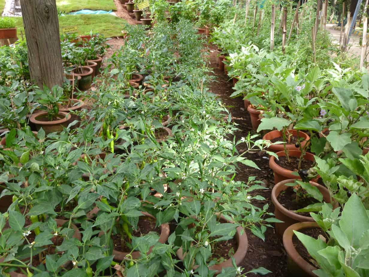 Chilli plants on display